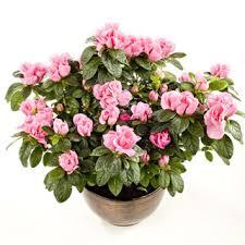 potted flowers azalea potted flowering plants flowering plants delivered uk