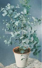 silver drop eucalyptus online shop 5pcs lot eucalyptus gunnii silverdrop seeds fruit