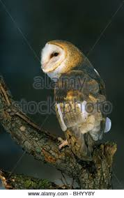 North American Barn Owl Barn Owl Tyto Alba With A Short Tailed Vole In It U0027s Bill After
