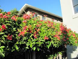 fences with trumpet vine plants climbing plants for fences
