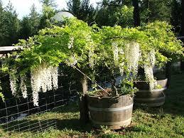 wisteria in half wine barrel gardening pinterest wisteria