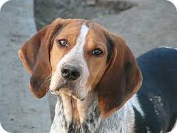 bluetick coonhound energy level liberty center oh bluetick coonhound meet kaboodle a dog for