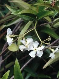 Most Fragrant Jasmine Plant - 52 best fragrant gardens images on pinterest garden plants