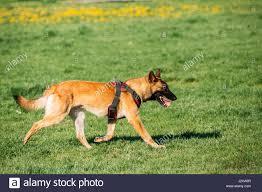 belgian sheepdog uk belgian sheepdog stock photos u0026 belgian sheepdog stock images alamy