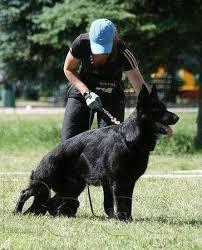 belgian sheepdog coat required long extra long coat in belgian shepherd rawalpindi