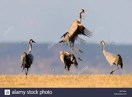 common or eurasian cranes grus grus dancing bird at roost lake