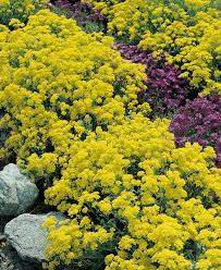 Gold Flowers Drought Tolerant Plants 64 Perennial And Annual Flowers