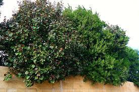 Flowering Privacy Shrubs - hibiscus cottonwood lakeside plants u0026 nursery
