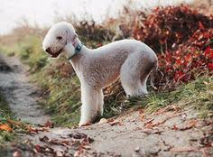 grooming a bedlington terrier puppy after dougalls first trip to the grooming salon