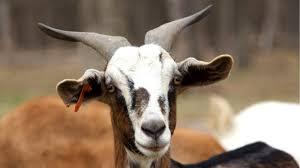 what are kiko goats youtube