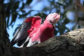 myphotos parks birds and wildlife a galah in the backyard