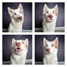 australian shepherd 1 year these shelter dog portraits will make you want take them all home