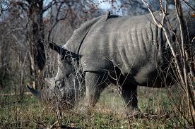 sle resume journalist position in kzn wildlife ezemvelo accommodation rhino wars a short history on worldrhinoday national