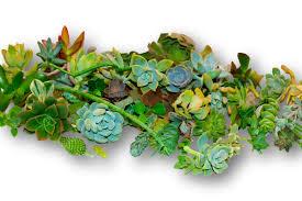 Amazon Succulents Amazon Com Fat Plants San Diego 75 Cactus And Succulent Cuttings
