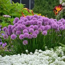 allium millenium walters gardens inc