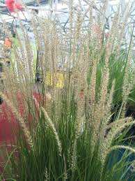 219 best grasses sedges images on ornamental grasses