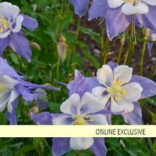 columbine plant songbird blue bird columbine aquilegia hybrid proven winners