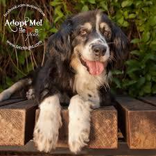 rescue an australian shepherd puppy abbi 9079 800x800 jpg