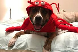 lobster dog halloween costume by casual canine with same day