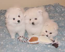pics of american eskimo dogs big american eskimo toy puppies dog breeds puppies ideal