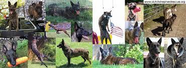 belgian sheepdog rescue ontario north american dutch shepherd rescue