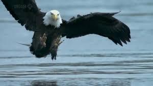 bald headed eagle catches salmon youtube