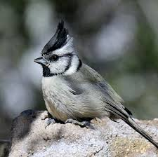 Backyard Birds Utah Mountain Chickadee Identification All About Birds Cornell Lab