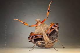 the praying mantis 25 pics twistedsifter
