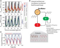 frequency doubling in the cyanobacterial circadian clock