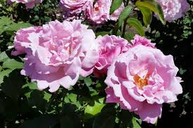 Fragrant Rose Plants - 10 intensely fragrant roses to plant in your garden the