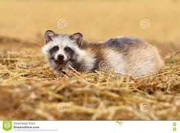 hairy raccoon stock photos images u0026 pictures 218 images