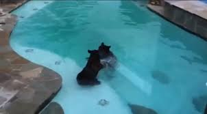 Swimming Pool In Backyard by Two Bears Swimming In Pool And Playing In Our Backyard Youtube