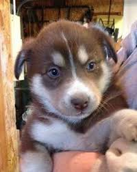 australian shepherd in spanish australian shepherd husky mix google search dream dogs