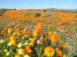 South African Wild Flowers - namaqualand the flowering desert south africa youtube