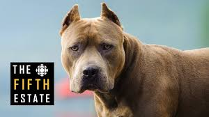 american pitbull terrier illegal pit bulls unleashed should they be banned the fifth estate