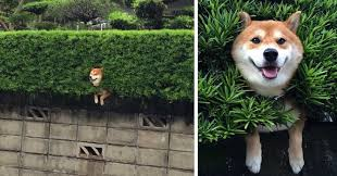 What Breed Is Doge Meme - hilarious shiba doge inu getting stuck everyday
