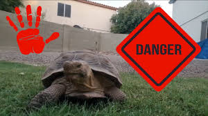 backyard tortoise attacks youtube