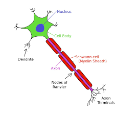 anatomy of the neuron gallery learn human anatomy image