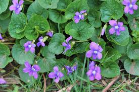 illinois native plant society meet nice native violets that herald arrival of spring and provide