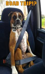 Boxer Meme - boxer dog wearing seatbelt 99 whiskers