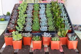 flower pot favors 2 wedding succulents wedding succulent favors for sale bulk