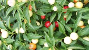 jim s favorite ornamental pepper seeds