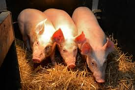 edited pigs show signs of resistance to major viral disease