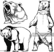 hand drawn images of grizzly bear vector art getty images