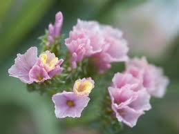 statice flowers statice flower meaning flower meaning