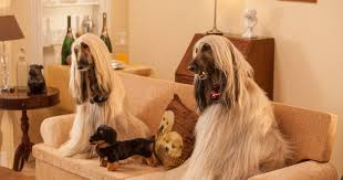 afghan hound creepy dog owners leave tv on for pets and use web cams to check on them