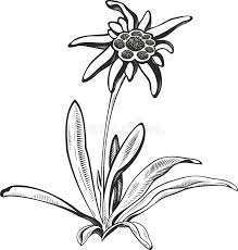 black silhouette outline edelweiss leontopodium flower the
