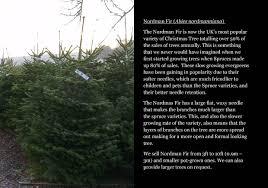 100 nordmann fir christmas tree seedlings christmas trees
