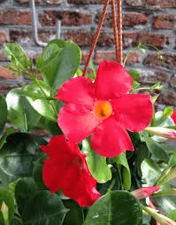 sundaville early scarlet world u0027s no 1 mandevilla dipladenia