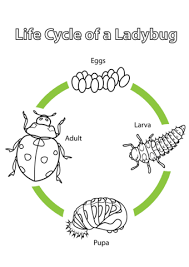 color the life cycle cuttlefish life cycles circle of life and